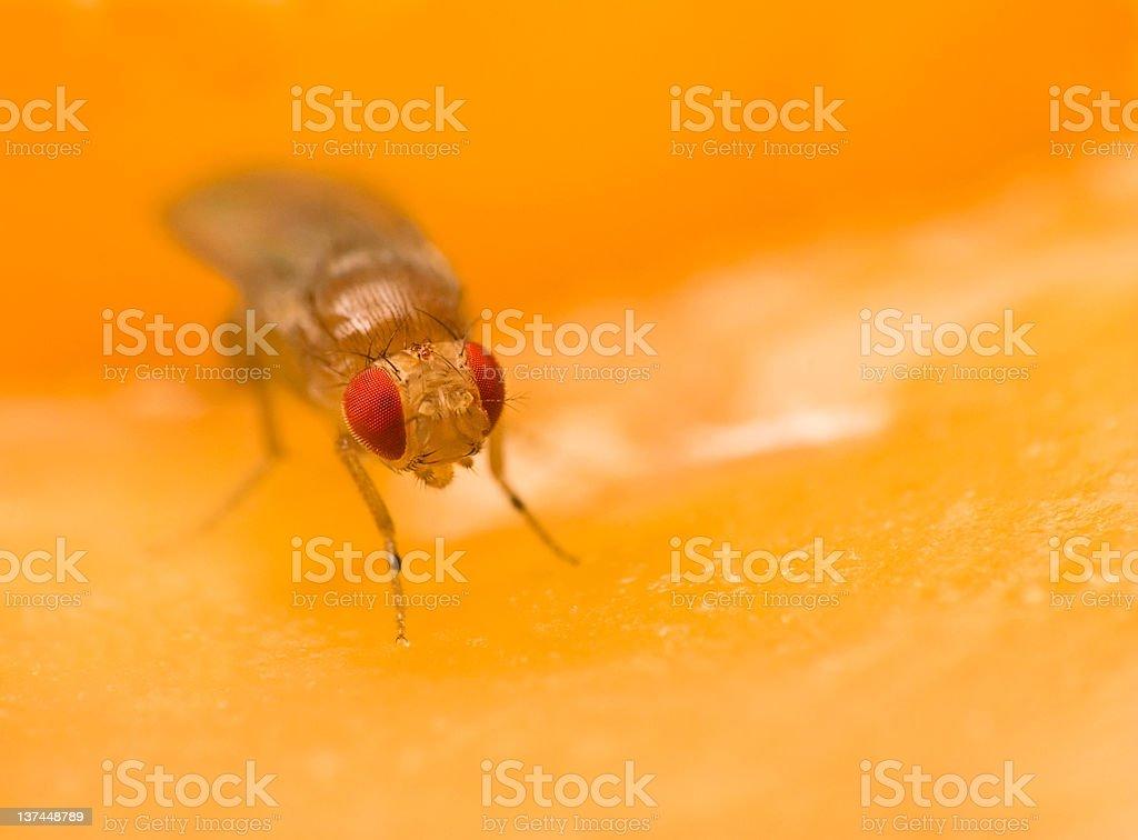 Tiny fruit fly sitting on an apple stock photo