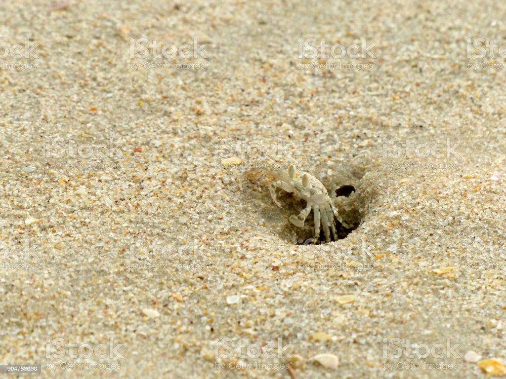 Tiny Ghost Crabs digging holes in the sand royalty-free stock photo