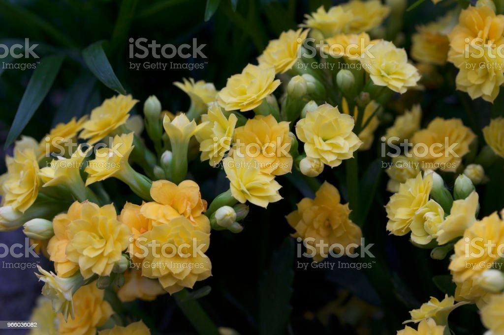 Kleine Gold und gelbe Blumen blühen auf einer Calandiva Pflanze - Lizenzfrei Abstrakt Stock-Foto