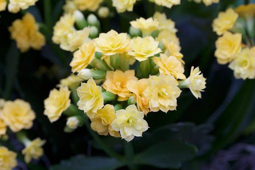 Kleine Goud En Gele Bloemen Bloeien Op Een Calandivaplant Stockfoto en meer beelden van Abstract