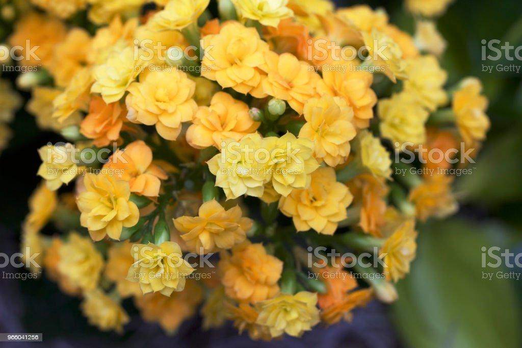 Kleine goud en gele bloemen bloeien op een calandiva-plant - Royalty-free Abstract Stockfoto
