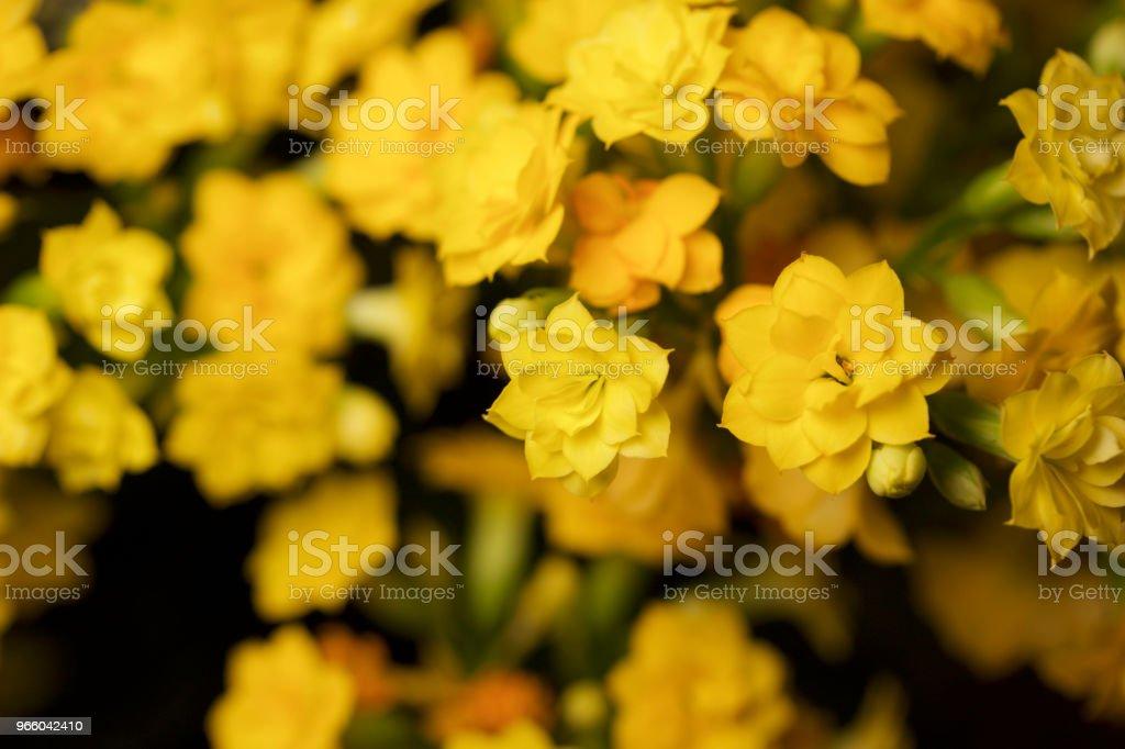 Små guld och gula blommor som blommar på en calandiva växt - Royaltyfri Abstrakt Bildbanksbilder