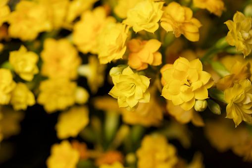 Små Guld Och Gula Blommor Som Blommar På En Calandiva Växt-foton och fler bilder på Abstrakt
