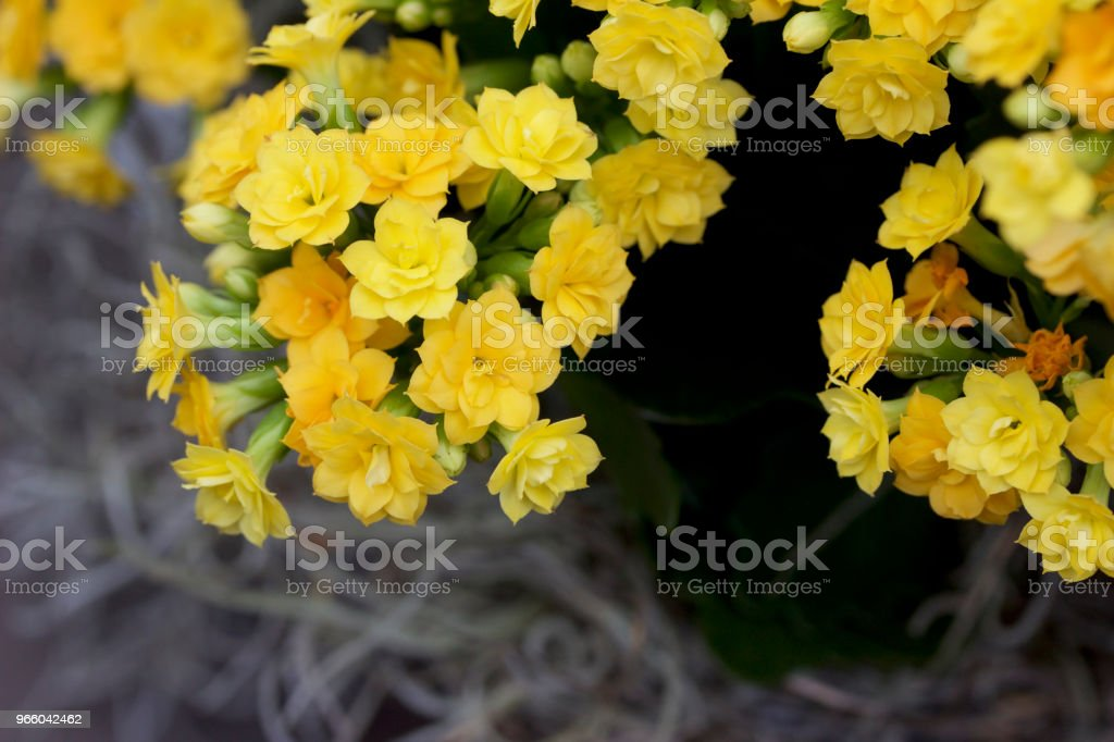 Tiny gold and yellow flowers blooming on a calandiva plant - Royalty-free Abstract Stock Photo