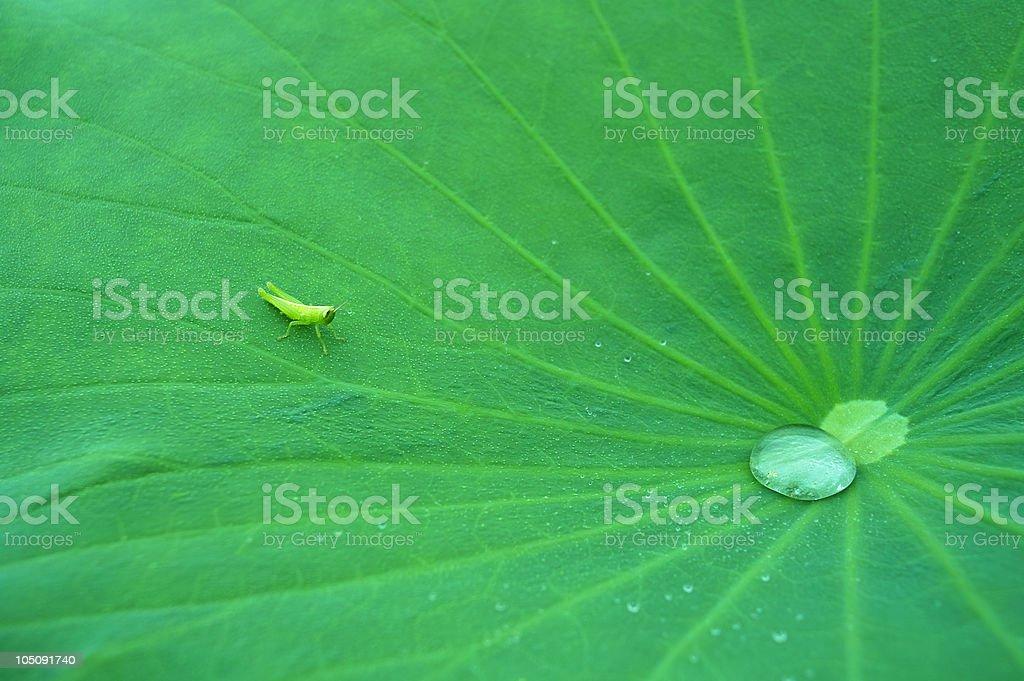 Tiny grasshopper on lotus leaf royalty-free stock photo