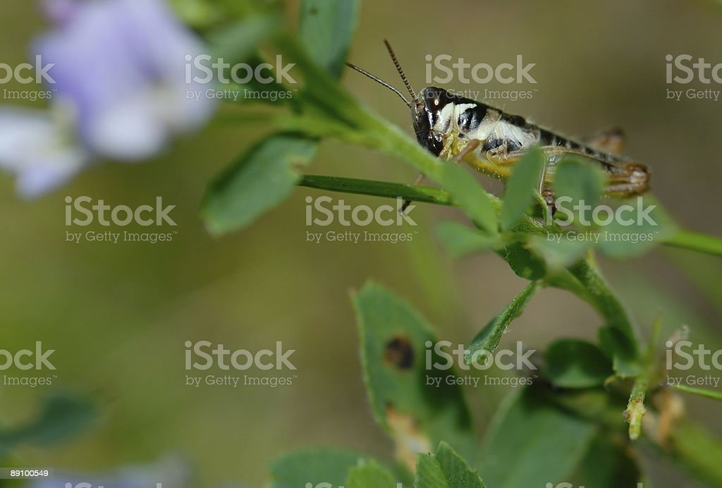 Tiny Grasshopper on Plant Stem Macro royalty-free stock photo