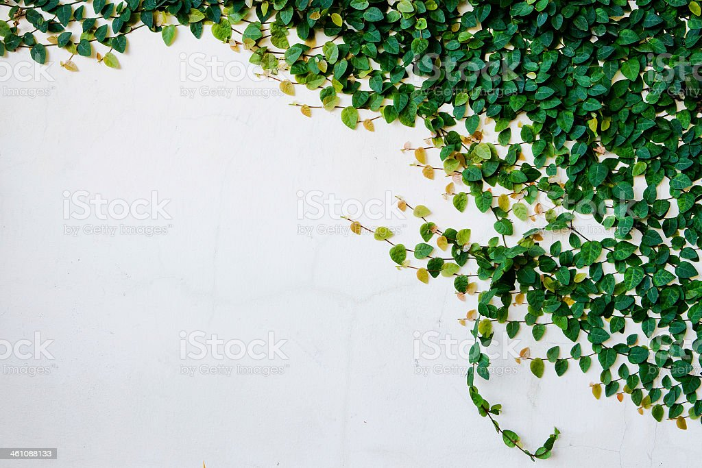 Tiny green Boston ivy leaves in a white background stock photo