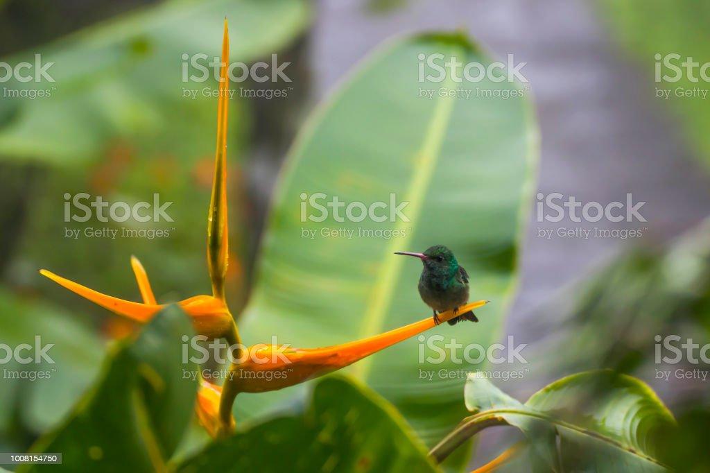 Tiny Green Hummingbird on Orange Bird of Paradise Flower stock photo