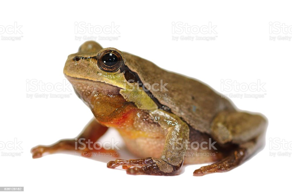 tiny green tree frog over white background stock photo