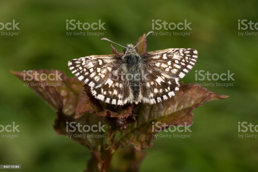 Tiny Grizzled Skipper butterfly on bramble leaf stock photo