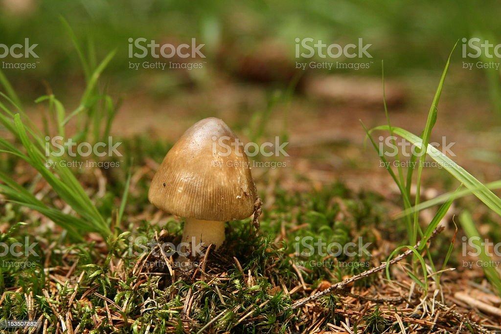 Tiny inedible mushroom royalty-free stock photo