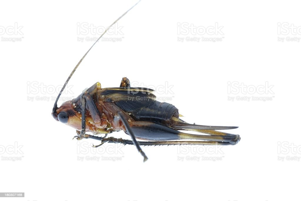 tiny insect grasshopper bug  isolated royalty-free stock photo