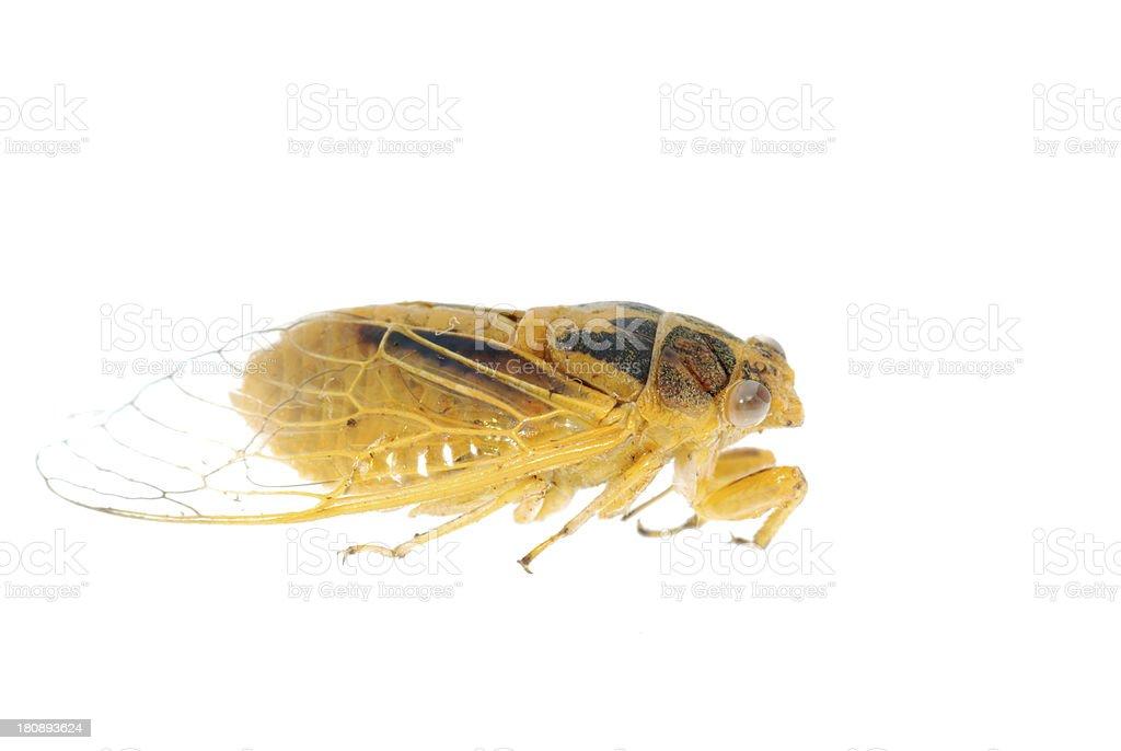tiny insect yellow cicada macro isolated royalty-free stock photo