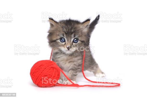 Tiny kitten playing with red ball of yarn picture id683838196?b=1&k=6&m=683838196&s=612x612&h=5hktd2lo073afoekk9zm4qc8d1glmsicmtqyjkutpsc=