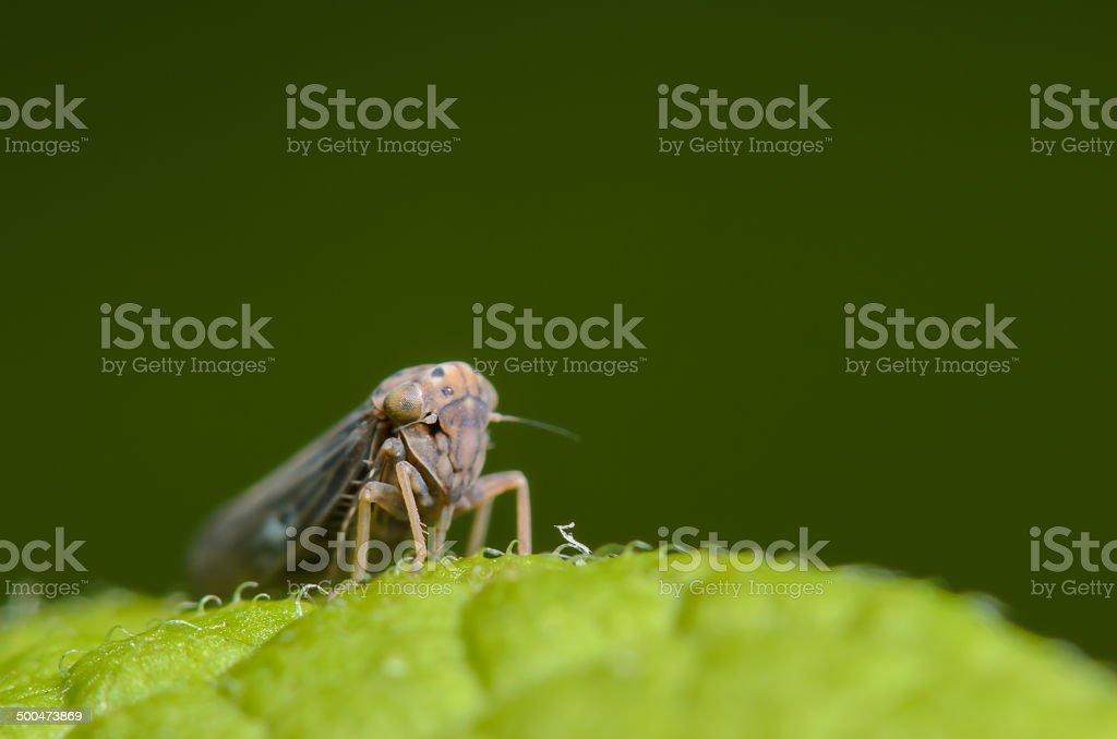 Tiny Leafhopper stock photo