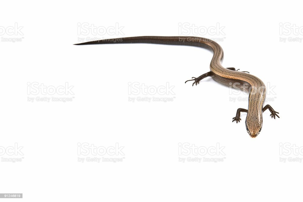 Tiny lizard isolated on white background royalty-free stock photo
