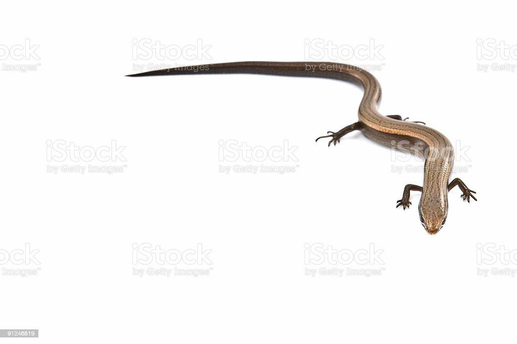 Tiny lizard isolated on white background stock photo