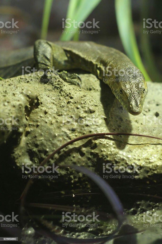 tiny lizard royalty-free stock photo