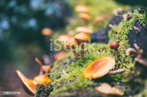 Tiny mushrooms growing in an English woodland in Autumn.
