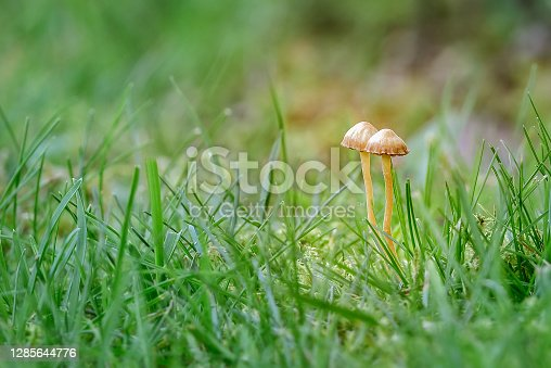 Two small mushrooms hiding in the green grass in autumn, macro nature photography