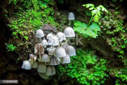 Tiny mycena mushrooms growing on dead log in rain forest