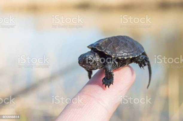 Tiny or small child of turtle is at tip of index finger with tiny picture id920956814?b=1&k=6&m=920956814&s=612x612&h=udqe5g1lbgy6bdemrovolh5t3lhqnajtx2ykkhxvucs=