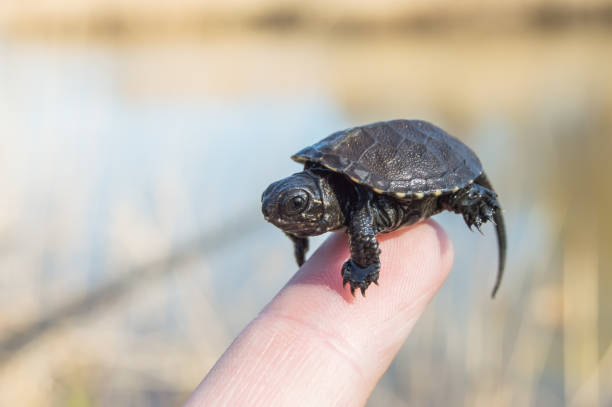 Tiny or small child of turtle is at tip of index finger with tiny shell, head and legs close up with blurry rear background of bank of river. European pond turtle or terrapin or Emys Orbicularis stock photo