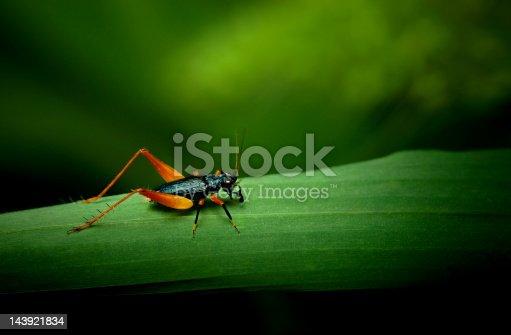 Tiny orange and black cricket on grass leaf