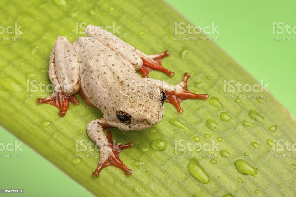 Tiny pale green frog sat on a wet leaf stock photo