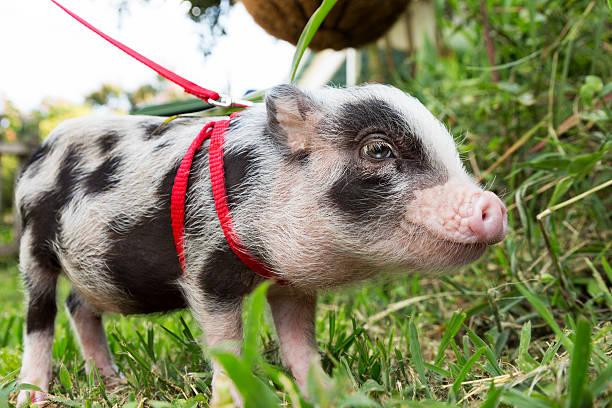 Tiny Pet Pig stock photo