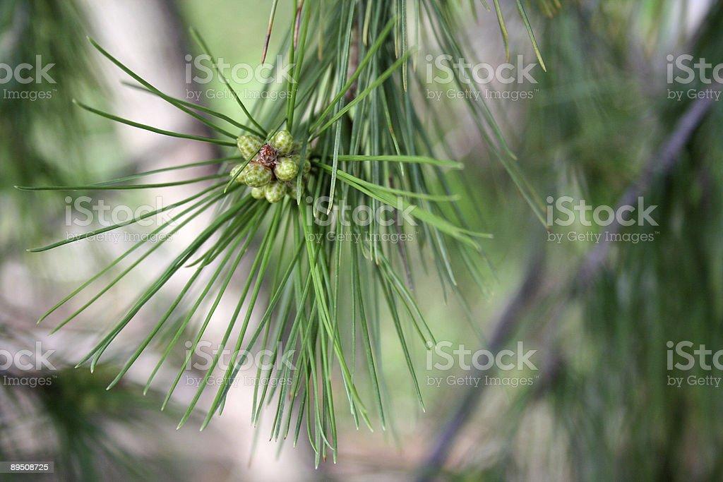 Tiny pine cones royalty-free stock photo