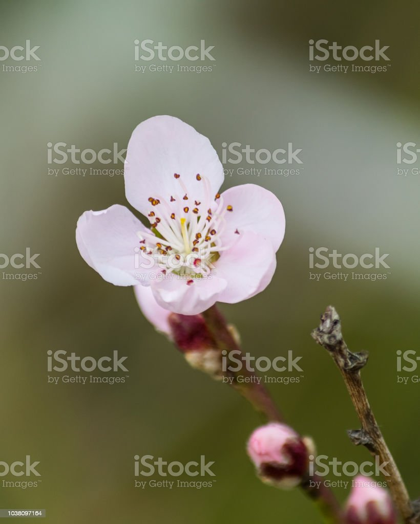 Tiny Pink Blossom in Spring stock photo