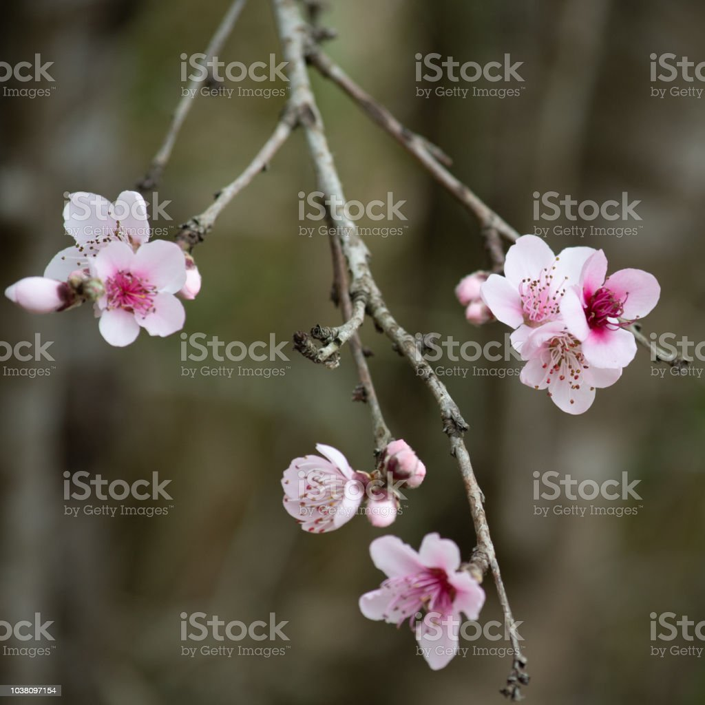 Tiny Pink Blossoms in Spring stock photo
