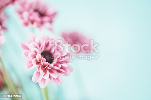 Tiny pink chrysanthemums against blue background