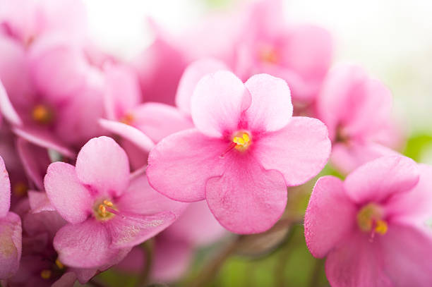 Tiny Pink Violets stock photo