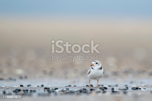 A tiny Piping Plover on a sandy beach with small black shells in soft overcast light with a smooth brown and blue background.