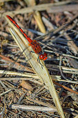Small bright red dragonfly perching on a a blade of dry grass