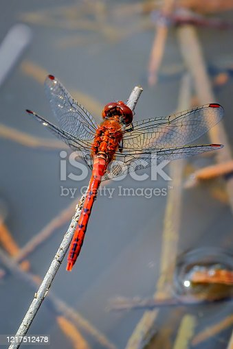 Small bright red dragonfly perching on a a blade of dry grass over the pond