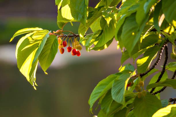 Fruta roja pequeña - foto de stock