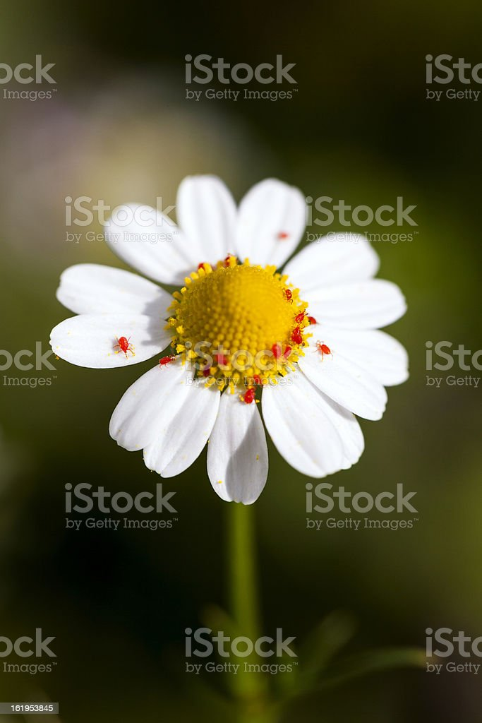 tiny red spider on camomile stock photo