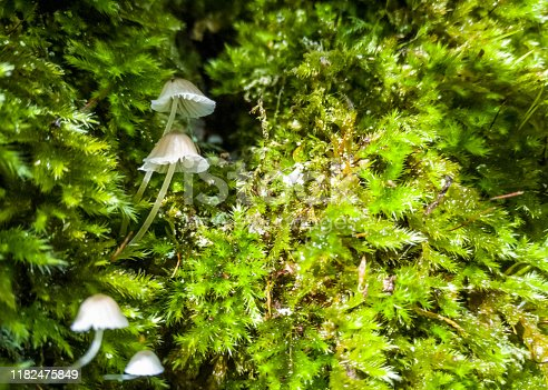 Tiny Saprophytic wild funghi growing in moss on a tree, only 5mm across.