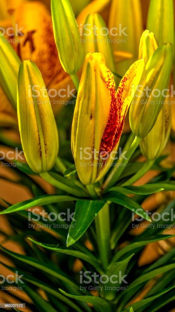 Tiny Sensation Bloooming Lily royalty-free stock photo