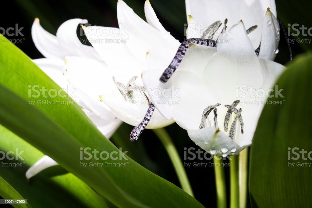 Tiny snail eater snake in white flowers at night stock photo