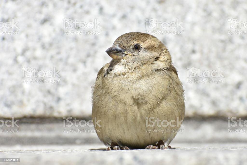 Tiny Sparrow stock photo