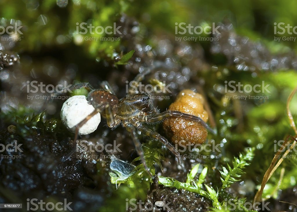 Tiny spider with brood in moss royalty-free stock photo