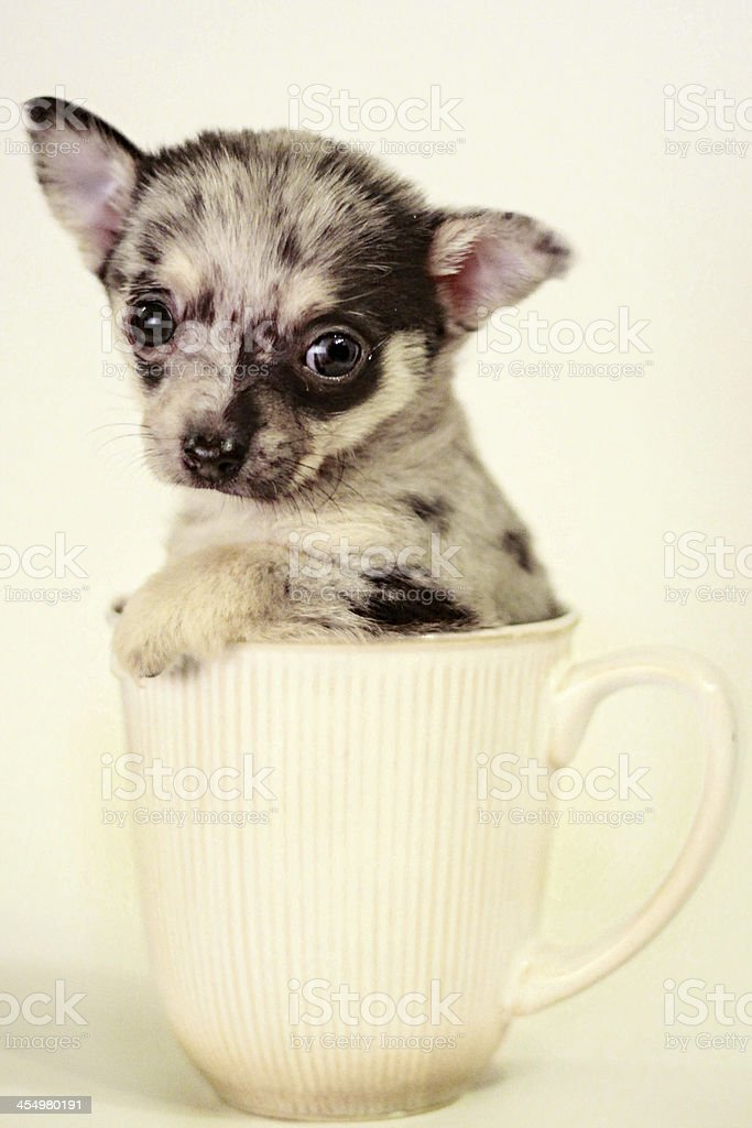 Tiny Teacup Chihuahua Puppy In A Mug Stock Photo Download Image Now Istock