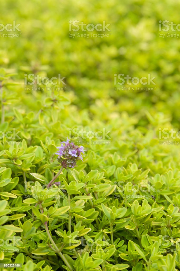 tiny thyme plant leaves and flowers covering ground in garden stock photo