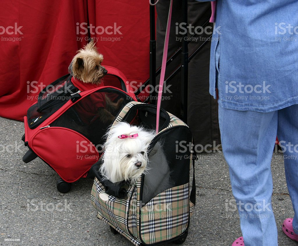 Tiny 'Toy' Dogs in a Carry On Bag royalty-free stock photo