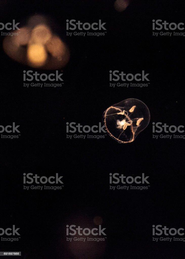Tiny Umbrella Jellyfish Called Eutonia Indicans Stock Photo