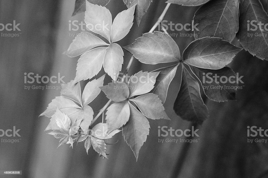 Tiny vine leaves on a blurry fence stock photo